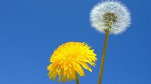 Flores. Alto nivel de polen
